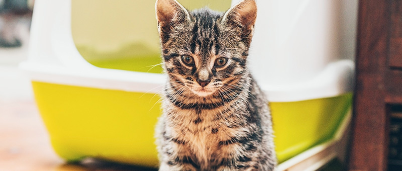 What Is FIP: Litter Box | Vancouver East Veterinary Walk-In Clinic